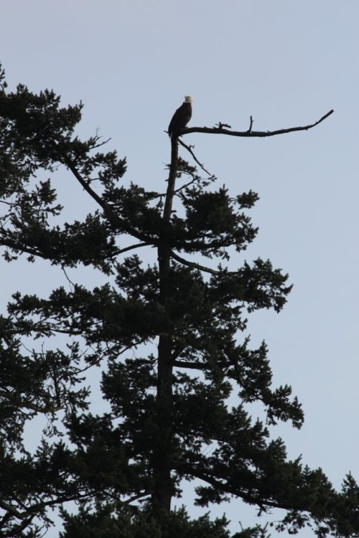 Bald eagle: is this the right angle?