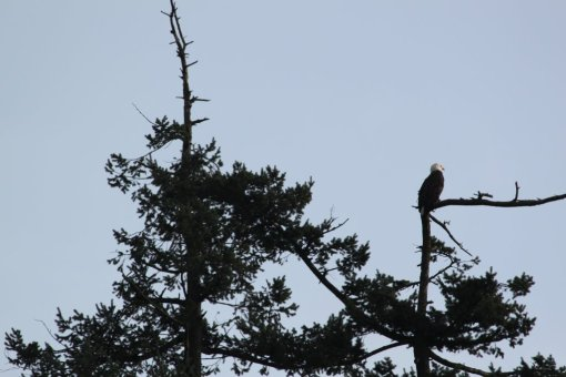 Bald eagle: branching out