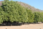 Orange trees were in full fruit when we visited.