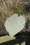 I <3 Prickly Pear
