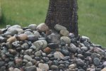 Pebble-dashed tree