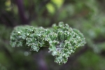 Some form of ornamental kale - I loved the crinkly leaves and the little jewels of rain drops trapped in the folds