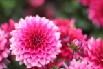 Vivid pink this dahlia. Perfectly formed. Almost like a paper decoration