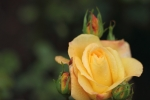 Lemon yellow rose