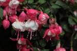 Fuchsias - my all time favourite plant. These were in a hanging basket decorating one of the wedding tents