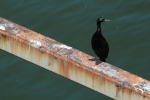 I like a good shag. Or is it a cormorant?