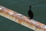 I like a good shag. Or is it a cormorant?