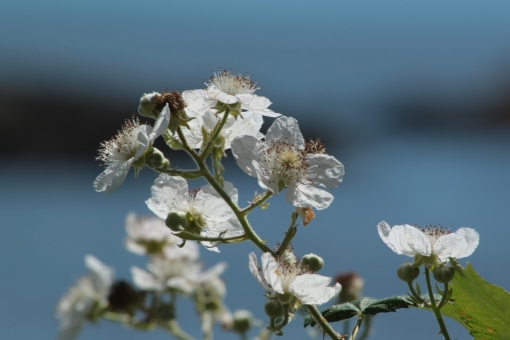 The bramble flowers are elegant and somehow reminiscent of simpler times.