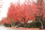 The street that intersects our crescent is lined with maples. It is hard to accurately capture the vibrancy of the street when the leaves decide - as if overnight - that it's time to give their annual show.