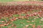 A uniform carpet of leaves. Their job now complete for the community they were part of, it's time to let go. They offer themselves as nutrient to the community they were once part of, so that others may take their place in due course, and build on their success.