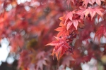 This maple was stretching itself and offering a more subtle array of red/oranges than the usual bright red.