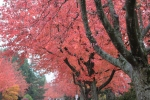 "Each tree is on fire with small red leaves. Each one representing the human condition. They will fall, offering themselves to a passing eye. Saying ""pick me, pick me!"" Similar but not quite the same as all the others. Many children and adults will walk past or over them without noticing any at all. A few people may notice, but walk by. One or two may stop, think, select. Just one. A special one. The leaf will smile."