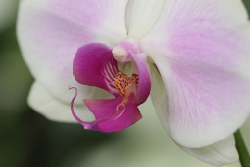 Orchid in Bloedel Conservatory