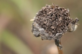 Michaelmas Daisy seeds