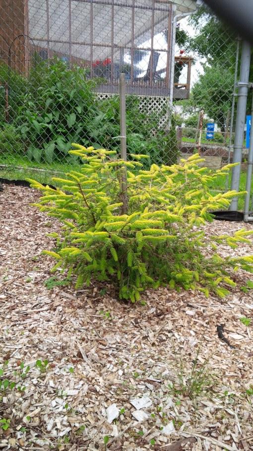 Golden spruce clone