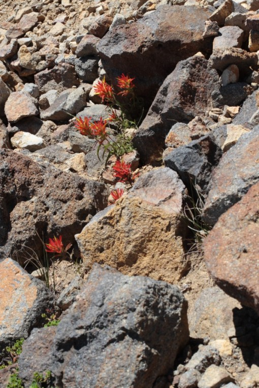 "Indian paintbrush, or ""Castilleja"""