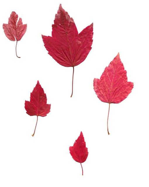 Vancouver Maple Leaves