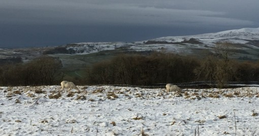 Just chillin... as sheep on the moor are wont to do.